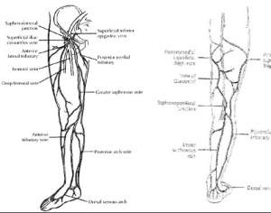 Distributions of the Greater (Great) and Lesser (Small) Saphenous Veins
