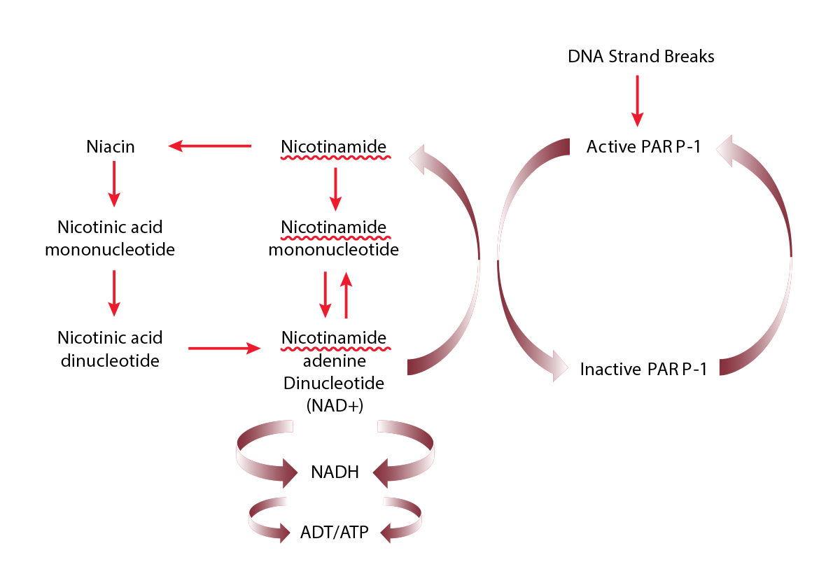 Simplified pathways for nicotinamide, niacin, NAD+ and PARP-1 metabolism