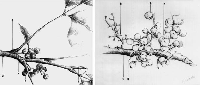Toxicodendron Dermatitis (Poison Ivy And Poison Oak)