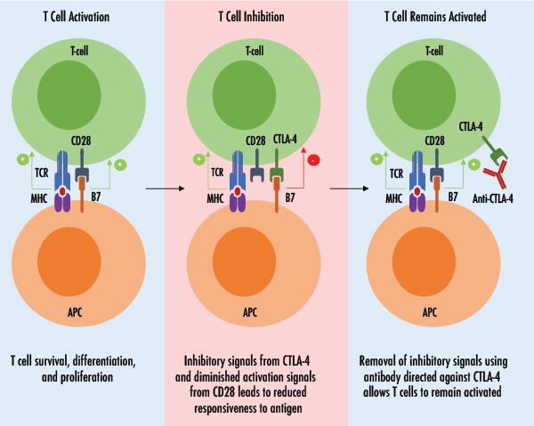 diagram of CTLA-4 in T cell regulation