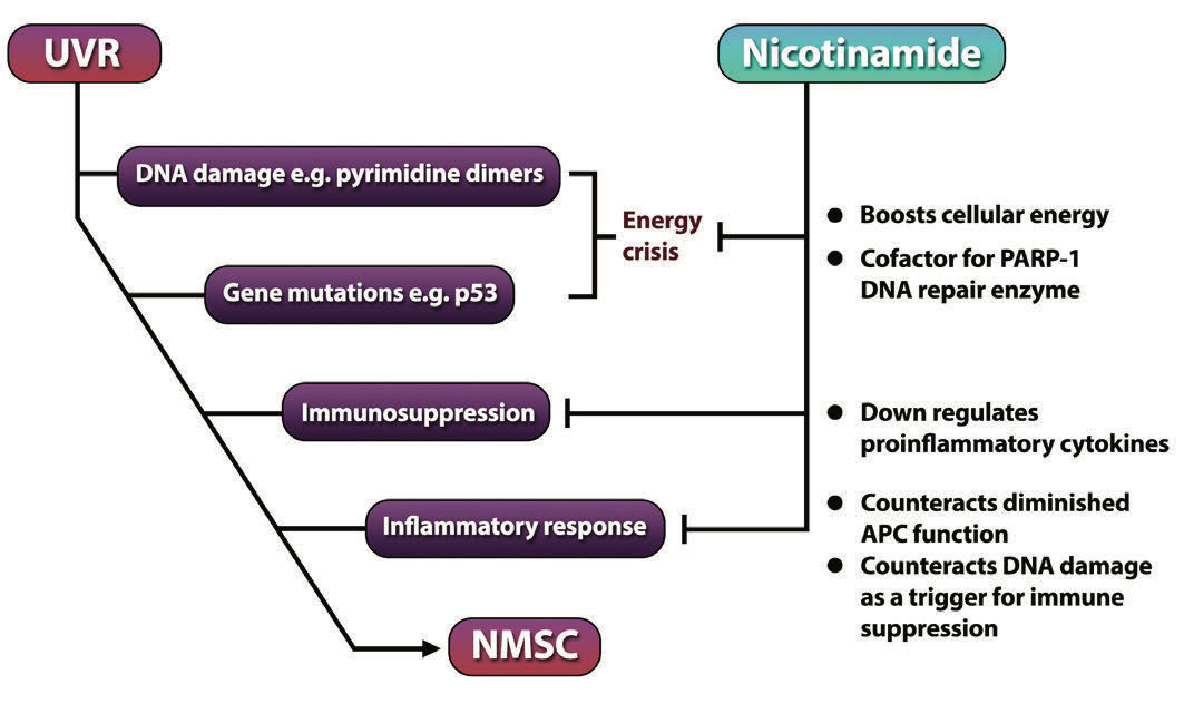 Nicotinamide: An Update and Review of Safety & Differences from Niacin - image